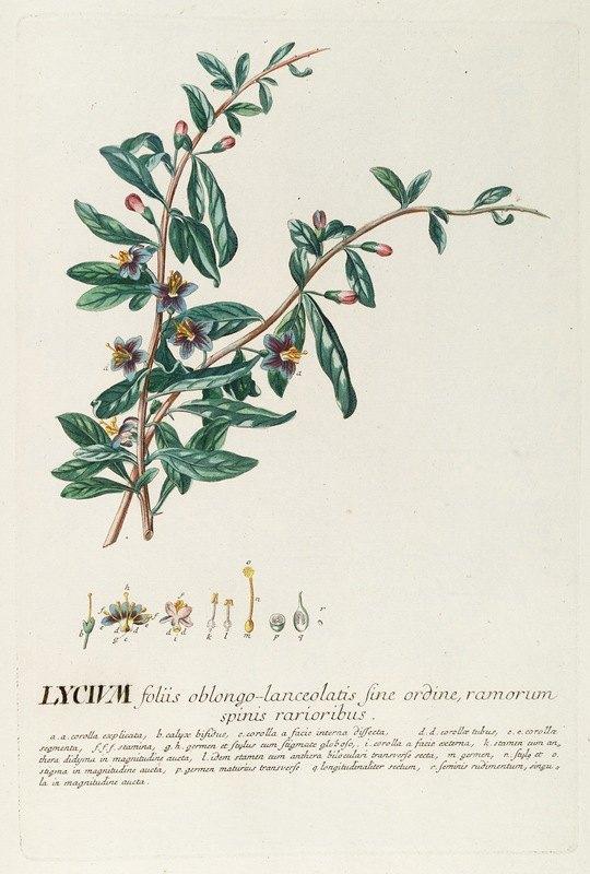 Georg Dionysius Ehret - Lycium