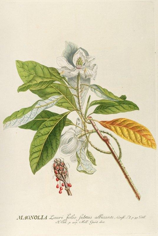 Georg Dionysius Ehret - Magnolia