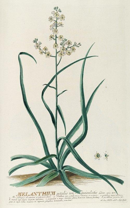 Georg Dionysius Ehret - Melanthium