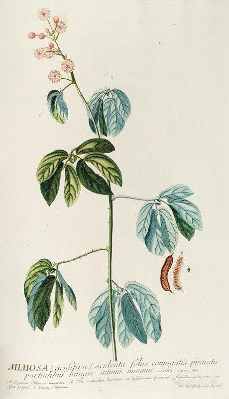 Georg Dionysius Ehret - Mimosa