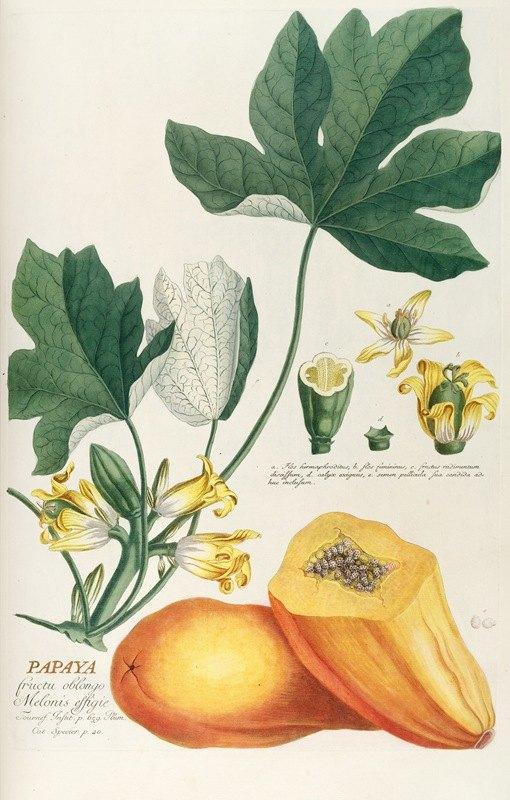 Georg Dionysius Ehret - Papaya