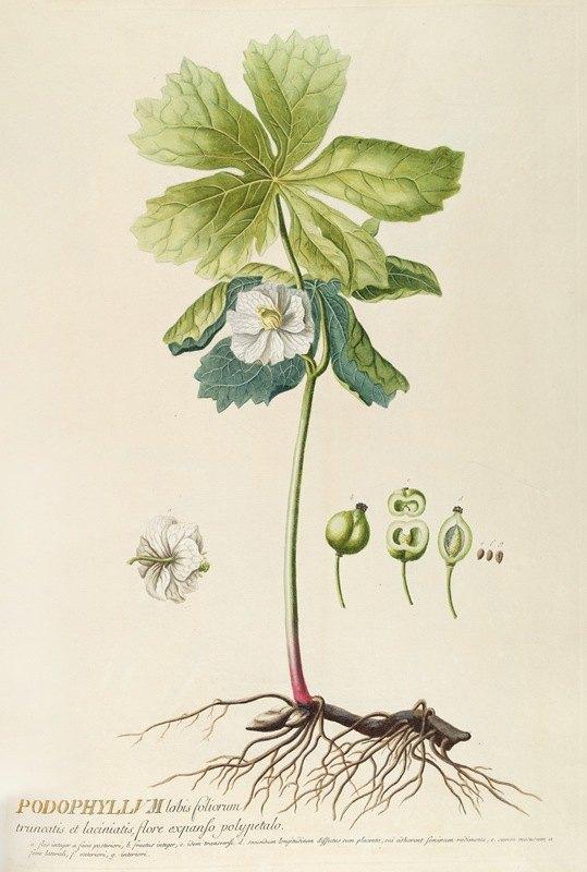 Georg Dionysius Ehret - Podophyllum