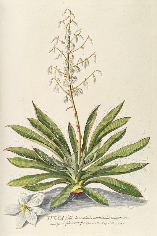 Georg Dionysius Ehret - Yucca