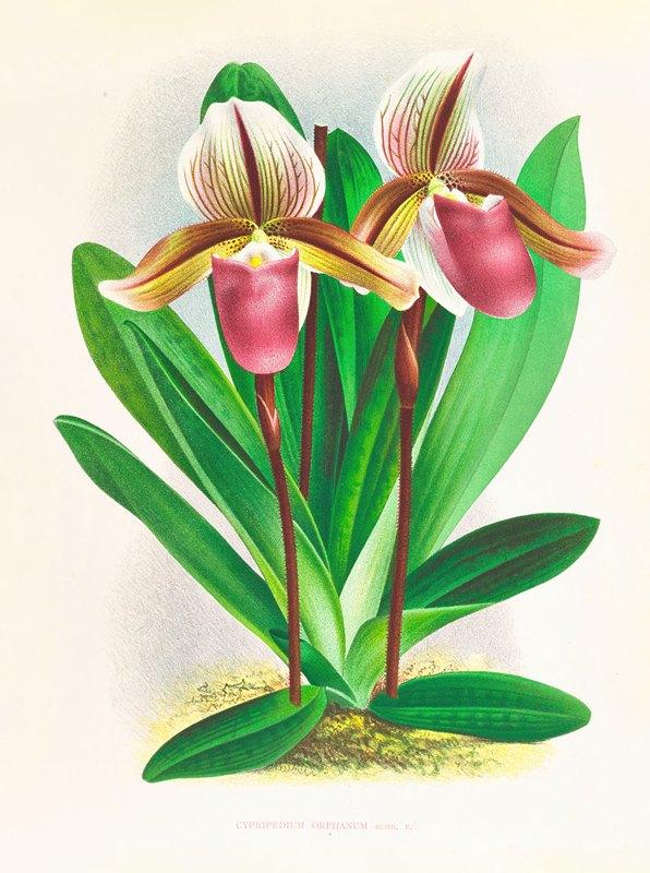 Jean Jules Linden - Cypripedium orphanum