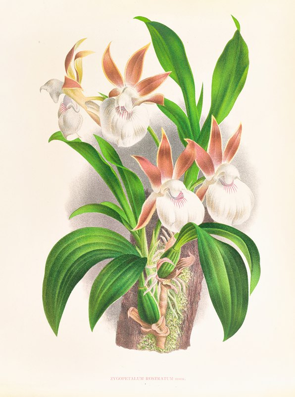 Jean Jules Linden - Zygopetalum rostratum