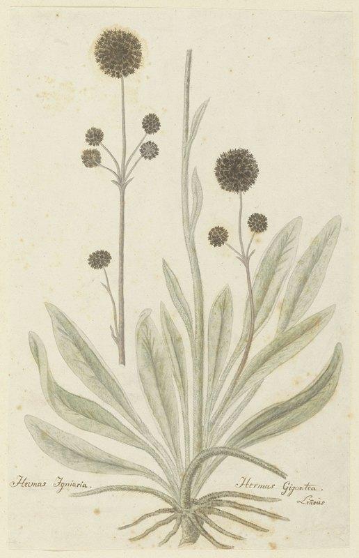 Robert Jacob Gordon - Hermas igniaria of Hermas gigantea (Tontelblaar)