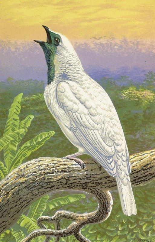 Thomas Waterman Wood - Naked-Throated Cotinga