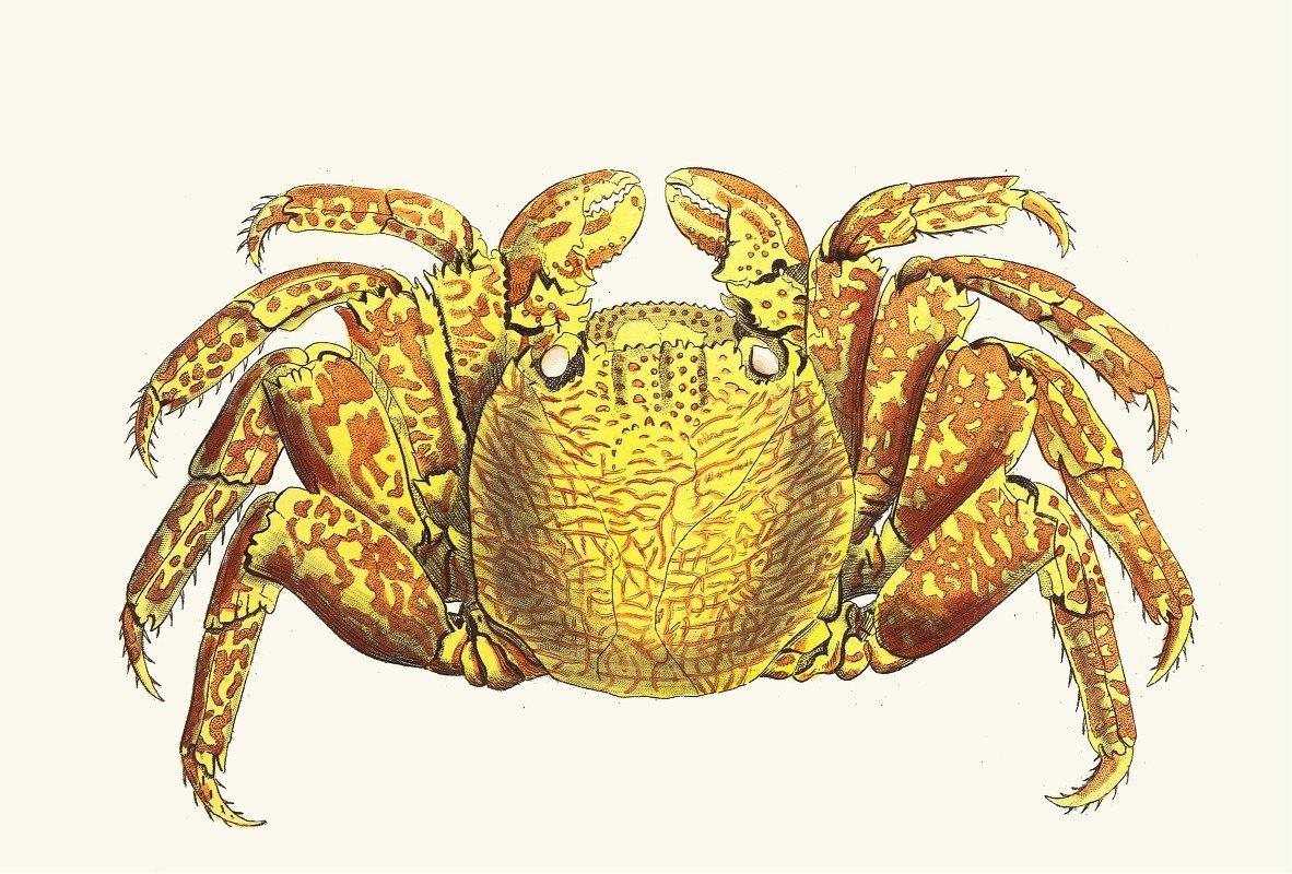 George Shaw - Variegated Crab