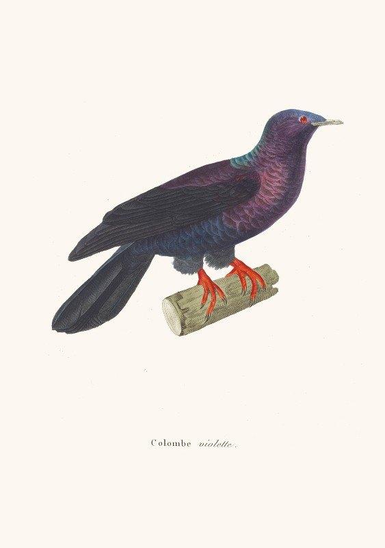 Coenraad Jacob Temminck - Colombe Violette.