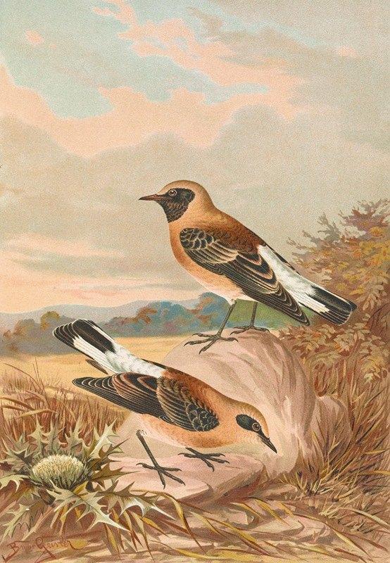 Johann Friedrich Naumann - Saxicola stapazina, Saxicola aurita