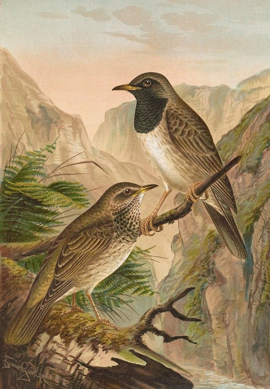 Johann Friedrich Naumann - Turdus atrigularis