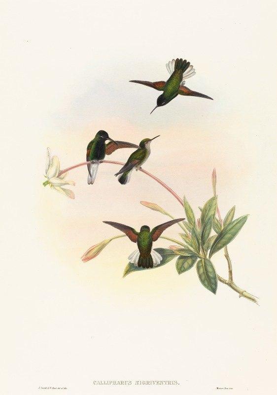 John Gould - Callipharus nigriventris (Black-bellied Hummingbird)