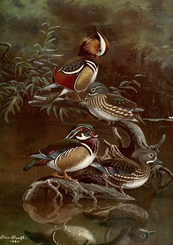 Allan Brooks - Mandarin Duck,Carolina Duck