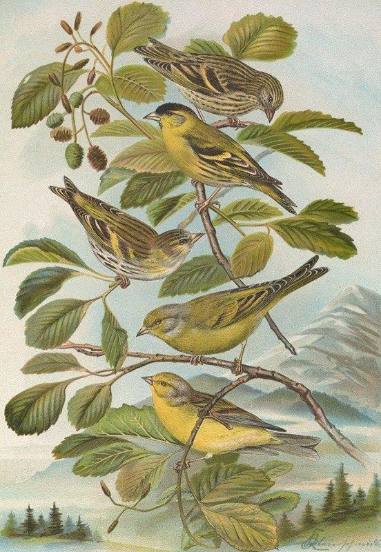 Johann Friedrich Naumann - Chrysomitris spinus, Chrysomitris citrinella, Chrysomitris corsicanus (Kònig)