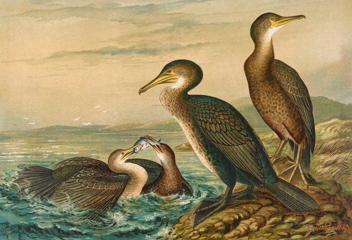 Johann Friedrich Naumann - Phalacrocorax carbo, Phalacrocorax graculus, Phalacrocorax pygmaeus