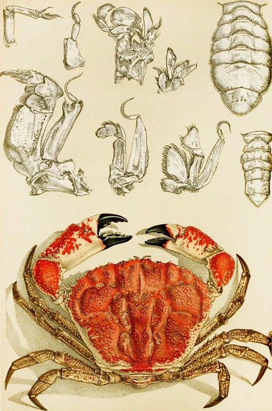 Frederick McCoy - Crustacea III