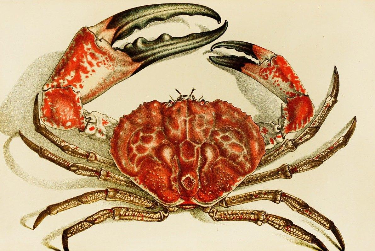 Frederick McCoy - Crustacea IV
