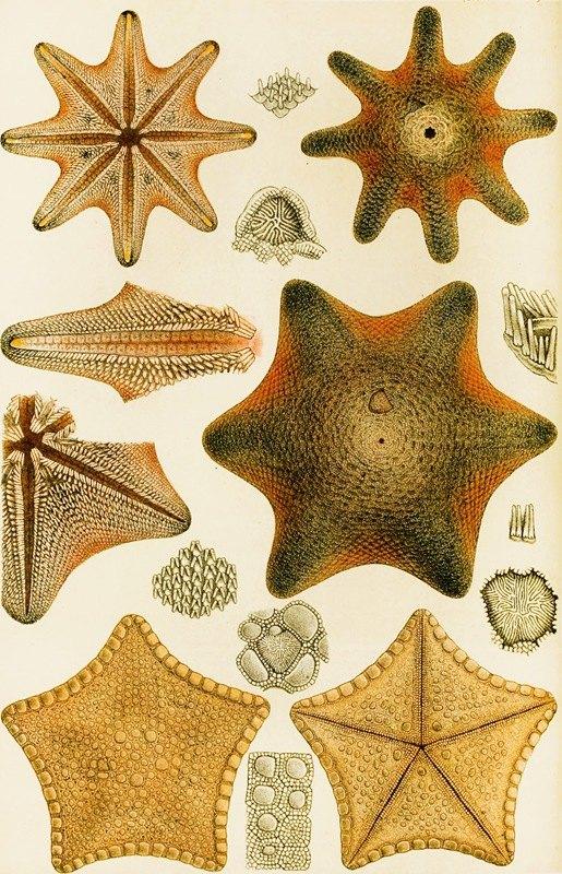 Frederick McCoy - Echinodermata