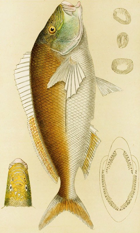Frederick McCoy - Fishes VI