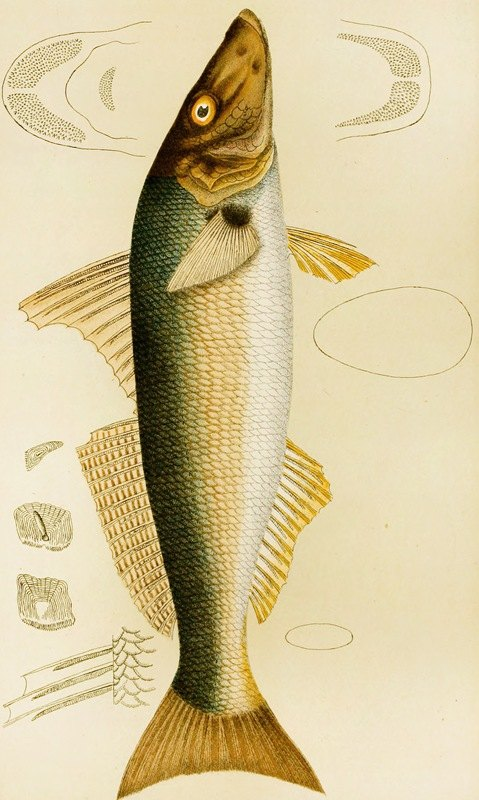 Frederick McCoy - Fishes VII