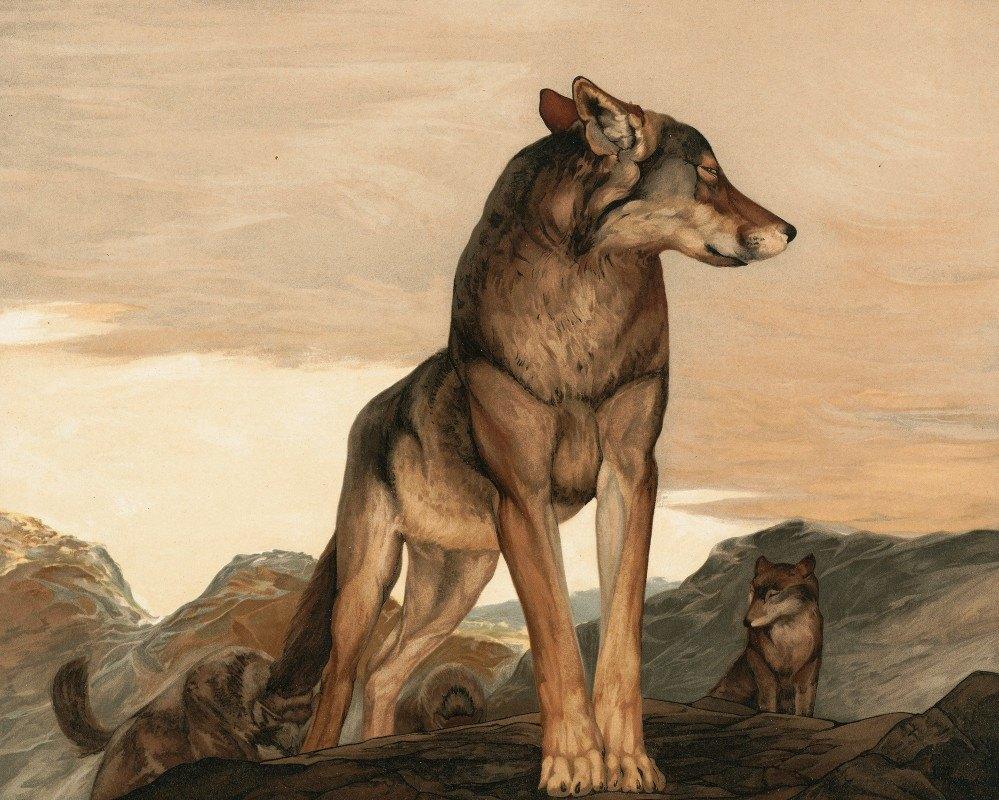 Maurice And Edward Detmold - Akela The Lone Wolf